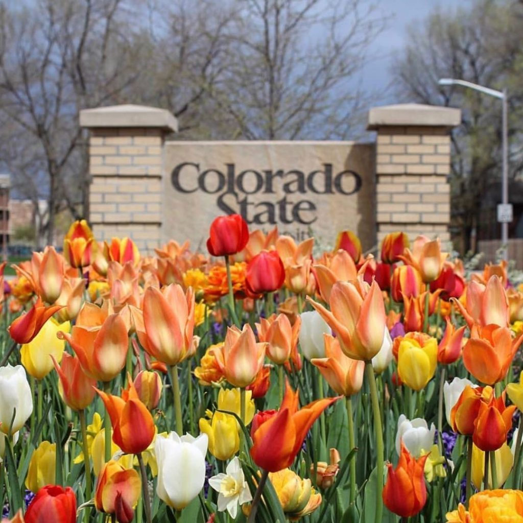 photo of tulips and the entry to Colorado State University